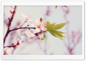 Spring Blossom HD Wide Wallpaper for Widescreen