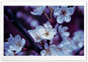 Spring Blossoms HD Wide Wallpaper for Widescreen
