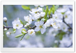 Spring Blossoms HD Wide Wallpaper for 4K UHD Widescreen desktop & smartphone