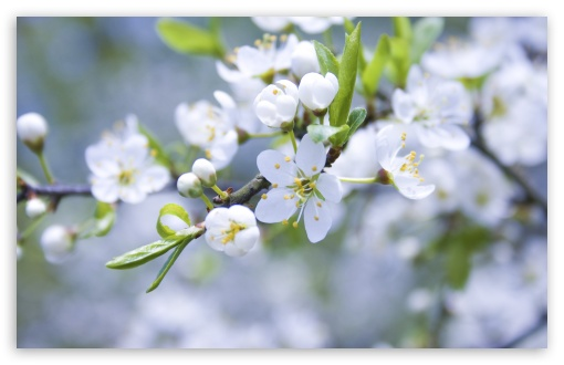 Spring Blossoms HD wallpaper for Wide 16:10 5:3 Widescreen WHXGA WQXGA WUXGA WXGA WGA ; HD 16:9 High Definition WQHD QWXGA 1080p 900p 720p QHD nHD ; UHD 16:9 WQHD QWXGA 1080p 900p 720p QHD nHD ; Standard 4:3 5:4 Fullscreen UXGA XGA SVGA QSXGA SXGA ; MS 3:2 DVGA HVGA HQVGA devices ( Apple PowerBook G4 iPhone 4 3G 3GS iPod Touch ) ; Mobile VGA WVGA iPhone iPad PSP Phone - VGA QVGA Smartphone ( PocketPC GPS iPod Zune BlackBerry HTC Samsung LG Nokia Eten Asus ) WVGA WQVGA Smartphone ( HTC Samsung Sony Ericsson LG Vertu MIO ) HVGA Smartphone ( Apple iPhone iPod BlackBerry HTC Samsung Nokia ) Sony PSP Zune HD Zen ; Tablet 1&2 Android Retina ; Dual 4:3 5:4 16:10 5:3 16:9 UXGA XGA SVGA QSXGA SXGA WHXGA WQXGA WUXGA WXGA WGA WQHD QWXGA 1080p 900p 720p QHD nHD ;