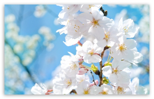 Spring Blossoms HD wallpaper for Wide 16:10 5:3 Widescreen WHXGA WQXGA WUXGA WXGA WGA ; HD 16:9 High Definition WQHD QWXGA 1080p 900p 720p QHD nHD ; Standard 4:3 5:4 3:2 Fullscreen UXGA XGA SVGA QSXGA SXGA DVGA HVGA HQVGA devices ( Apple PowerBook G4 iPhone 4 3G 3GS iPod Touch ) ; Tablet 1:1 ; iPad 1/2/Mini ; Mobile 4:3 5:3 3:2 16:9 5:4 - UXGA XGA SVGA WGA DVGA HVGA HQVGA devices ( Apple PowerBook G4 iPhone 4 3G 3GS iPod Touch ) WQHD QWXGA 1080p 900p 720p QHD nHD QSXGA SXGA ; Dual 4:3 5:4 UXGA XGA SVGA QSXGA SXGA ;