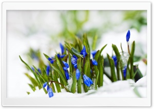 Spring Blue Flowers In Snow Macro HD Wide Wallpaper for Widescreen