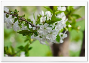 Spring Branch HD Wide Wallpaper for Widescreen
