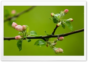 Spring Buds, Macro HD Wide Wallpaper for 4K UHD Widescreen desktop & smartphone