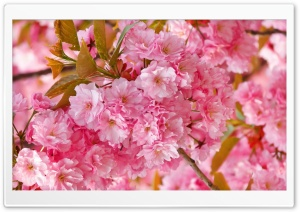 Spring Cherry Blossom HD HD Wide Wallpaper for Widescreen