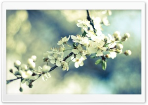 Spring Cherry Blossoms HD Wide Wallpaper for Widescreen
