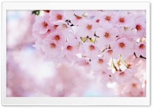 Spring Cherry Flowers HD Wide Wallpaper for Widescreen