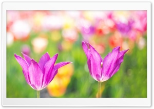 Spring Colorful Tulips HD Wide Wallpaper for Widescreen
