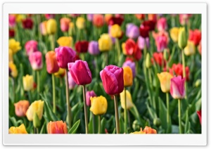 Spring Colorful Tulips Background HD Wide Wallpaper for 4K UHD Widescreen desktop & smartphone