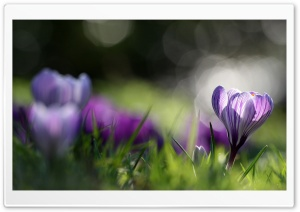 Spring Crocus HD Wide Wallpaper for Widescreen