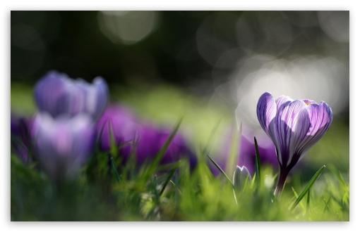Spring Crocus ❤ 4K UHD Wallpaper for Wide 16:10 5:3 Widescreen WHXGA WQXGA WUXGA WXGA WGA ; 4K UHD 16:9 Ultra High Definition 2160p 1440p 1080p 900p 720p ; Standard 4:3 5:4 3:2 Fullscreen UXGA XGA SVGA QSXGA SXGA DVGA HVGA HQVGA ( Apple PowerBook G4 iPhone 4 3G 3GS iPod Touch ) ; Tablet 1:1 ; iPad 1/2/Mini ; Mobile 4:3 5:3 3:2 16:9 5:4 - UXGA XGA SVGA WGA DVGA HVGA HQVGA ( Apple PowerBook G4 iPhone 4 3G 3GS iPod Touch ) 2160p 1440p 1080p 900p 720p QSXGA SXGA ; Dual 16:10 5:3 16:9 4:3 5:4 WHXGA WQXGA WUXGA WXGA WGA 2160p 1440p 1080p 900p 720p UXGA XGA SVGA QSXGA SXGA ;