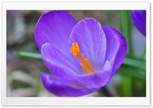 Spring Crocus Blossom HD Wide Wallpaper for 4K UHD Widescreen desktop & smartphone