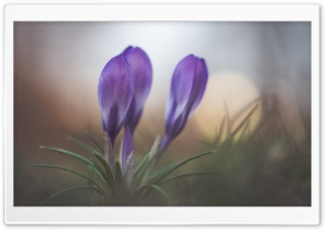 Spring Crocus Flower HD Wide Wallpaper for Widescreen