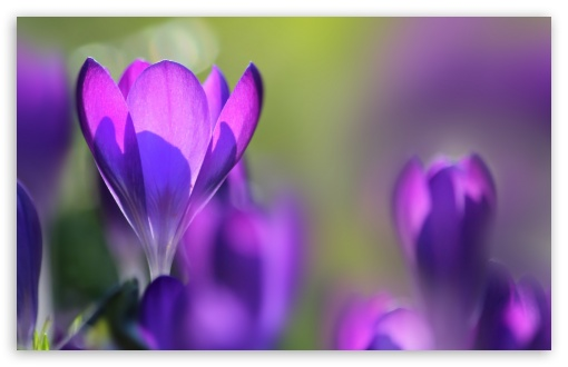 Spring Crocuses ❤ 4K UHD Wallpaper for Wide 16:10 5:3 Widescreen WHXGA WQXGA WUXGA WXGA WGA ; 4K UHD 16:9 Ultra High Definition 2160p 1440p 1080p 900p 720p ; UHD 16:9 2160p 1440p 1080p 900p 720p ; Standard 4:3 5:4 3:2 Fullscreen UXGA XGA SVGA QSXGA SXGA DVGA HVGA HQVGA ( Apple PowerBook G4 iPhone 4 3G 3GS iPod Touch ) ; Smartphone 5:3 WGA ; Tablet 1:1 ; iPad 1/2/Mini ; Mobile 4:3 5:3 3:2 16:9 5:4 - UXGA XGA SVGA WGA DVGA HVGA HQVGA ( Apple PowerBook G4 iPhone 4 3G 3GS iPod Touch ) 2160p 1440p 1080p 900p 720p QSXGA SXGA ; Dual 16:10 5:3 16:9 4:3 5:4 WHXGA WQXGA WUXGA WXGA WGA 2160p 1440p 1080p 900p 720p UXGA XGA SVGA QSXGA SXGA ;