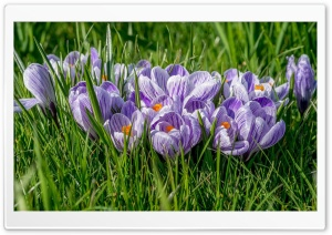 Spring Crocuses HD Wide Wallpaper for 4K UHD Widescreen desktop & smartphone