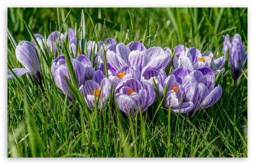 Spring Crocuses ❤ 4K UHD Wallpaper for Wide 16:10 5:3 Widescreen WHXGA WQXGA WUXGA WXGA WGA ; 4K UHD 16:9 Ultra High Definition 2160p 1440p 1080p 900p 720p ; Standard 4:3 5:4 3:2 Fullscreen UXGA XGA SVGA QSXGA SXGA DVGA HVGA HQVGA ( Apple PowerBook G4 iPhone 4 3G 3GS iPod Touch ) ; Tablet 1:1 ; iPad 1/2/Mini ; Mobile 4:3 5:3 3:2 16:9 5:4 - UXGA XGA SVGA WGA DVGA HVGA HQVGA ( Apple PowerBook G4 iPhone 4 3G 3GS iPod Touch ) 2160p 1440p 1080p 900p 720p QSXGA SXGA ;