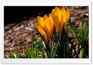 Spring Crocuses HD Wide Wallpaper for Widescreen