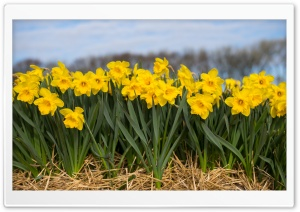 Spring Daffodils Flowers Ultra HD Wallpaper for 4K UHD Widescreen desktop, tablet & smartphone