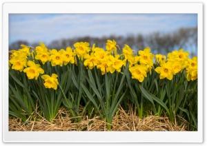 Spring Daffodils Flowers Ultra HD Wallpaper for 4K UHD Widescreen desktop, tablet & smartphone