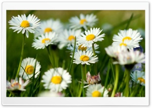 Spring Daisies HD Wide Wallpaper for Widescreen