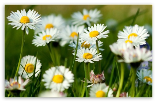Spring Daisies HD wallpaper for Wide 16:10 5:3 Widescreen WHXGA WQXGA WUXGA WXGA WGA ; HD 16:9 High Definition WQHD QWXGA 1080p 900p 720p QHD nHD ; Standard 4:3 5:4 3:2 Fullscreen UXGA XGA SVGA QSXGA SXGA DVGA HVGA HQVGA devices ( Apple PowerBook G4 iPhone 4 3G 3GS iPod Touch ) ; Tablet 1:1 ; iPad 1/2/Mini ; Mobile 4:3 5:3 3:2 16:9 5:4 - UXGA XGA SVGA WGA DVGA HVGA HQVGA devices ( Apple PowerBook G4 iPhone 4 3G 3GS iPod Touch ) WQHD QWXGA 1080p 900p 720p QHD nHD QSXGA SXGA ;