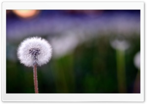 Spring Dandelion HD Wide Wallpaper for Widescreen