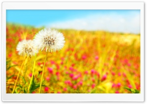 Spring Dandelions HD Wide Wallpaper for Widescreen