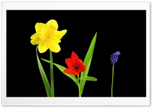 Spring Flowers, Daffodil, Tulip, Muscari, Black Background HD Wide Wallpaper for 4K UHD Widescreen desktop & smartphone