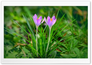 Spring Flowers Purple Crocus Ultra HD Wallpaper for 4K UHD Widescreen desktop, tablet & smartphone