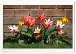 Spring Garden Tulips HD Wide Wallpaper for Widescreen