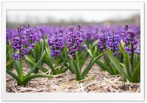 Spring Hyacinths Ultra HD Wallpaper for 4K UHD Widescreen desktop, tablet & smartphone