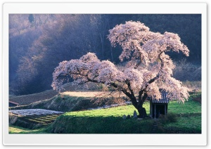 Spring in Japan Ultra HD Wallpaper for 4K UHD Widescreen desktop, tablet & smartphone