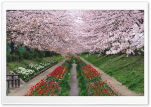 Spring In Japan HD Wide Wallpaper for Widescreen