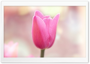 Spring Light Pink Tulip HD Wide Wallpaper for Widescreen