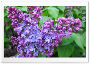 Spring Lilac HD Wide Wallpaper for Widescreen