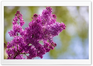 Spring Lilac Flower HD Wide Wallpaper for 4K UHD Widescreen desktop & smartphone