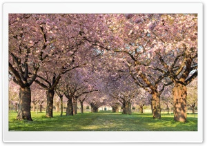 Spring Orchard HD Wide Wallpaper for Widescreen
