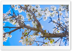 Spring Pear Tree HD Wide Wallpaper for 4K UHD Widescreen desktop & smartphone