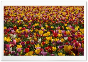 Spring Pink and Yellow Tulips HD Wide Wallpaper for 4K UHD Widescreen desktop & smartphone