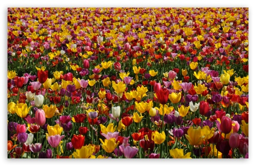 Spring Pink And Yellow Tulips HD wallpaper for Standard 4:3 5:4 Fullscreen UXGA XGA SVGA QSXGA SXGA ; Wide 16:10 5:3 Widescreen WHXGA WQXGA WUXGA WXGA WGA ; HD 16:9 High Definition WQHD QWXGA 1080p 900p 720p QHD nHD ; Other 3:2 DVGA HVGA HQVGA devices ( Apple PowerBook G4 iPhone 4 3G 3GS iPod Touch ) ; Mobile VGA WVGA iPhone iPad PSP Phone - VGA QVGA Smartphone ( PocketPC GPS iPod Zune BlackBerry HTC Samsung LG Nokia Eten Asus ) WVGA WQVGA Smartphone ( HTC Samsung Sony Ericsson LG Vertu MIO ) HVGA Smartphone ( Apple iPhone iPod BlackBerry HTC Samsung Nokia ) Sony PSP Zune HD Zen ; Tablet 2 ;