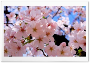 Spring Pink Blossoms HD Wide Wallpaper for Widescreen