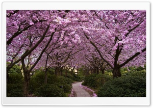 Spring Pink Trees HD Wide Wallpaper for Widescreen