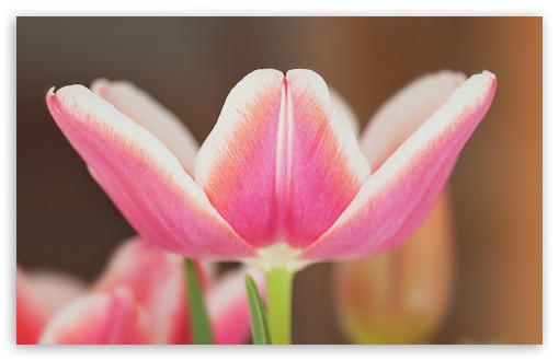 Spring Pink Tulip Blooming ❤ 4K UHD Wallpaper for Wide 16:10 5:3 Widescreen WHXGA WQXGA WUXGA WXGA WGA ; 4K UHD 16:9 Ultra High Definition 2160p 1440p 1080p 900p 720p ; Standard 4:3 5:4 3:2 Fullscreen UXGA XGA SVGA QSXGA SXGA DVGA HVGA HQVGA ( Apple PowerBook G4 iPhone 4 3G 3GS iPod Touch ) ; Tablet 1:1 ; iPad 1/2/Mini ; Mobile 4:3 5:3 3:2 16:9 5:4 - UXGA XGA SVGA WGA DVGA HVGA HQVGA ( Apple PowerBook G4 iPhone 4 3G 3GS iPod Touch ) 2160p 1440p 1080p 900p 720p QSXGA SXGA ;