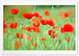 Spring Poppies HD Wide Wallpaper for Widescreen