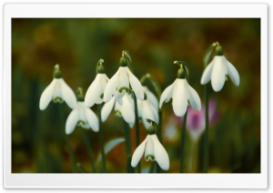 Spring Snowdrops HD Wide Wallpaper for Widescreen