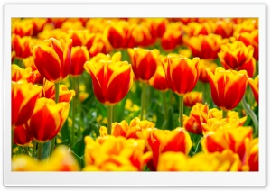Spring Tulip Fields Ultra HD Wallpaper for 4K UHD Widescreen desktop, tablet & smartphone