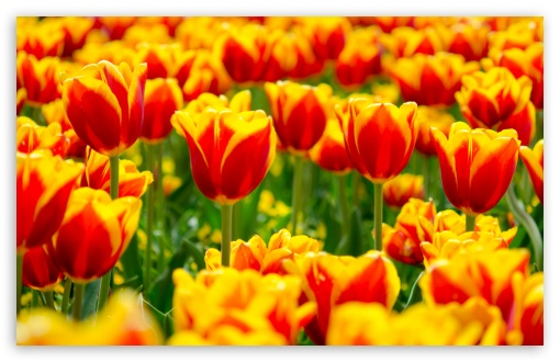 Spring Tulip Fields ❤ 4K UHD Wallpaper for Wide 16:10 5:3 Widescreen WHXGA WQXGA WUXGA WXGA WGA ; 4K UHD 16:9 Ultra High Definition 2160p 1440p 1080p 900p 720p ; Standard 4:3 5:4 3:2 Fullscreen UXGA XGA SVGA QSXGA SXGA DVGA HVGA HQVGA ( Apple PowerBook G4 iPhone 4 3G 3GS iPod Touch ) ; Smartphone 5:3 WGA ; Tablet 1:1 ; iPad 1/2/Mini ; Mobile 4:3 5:3 3:2 16:9 5:4 - UXGA XGA SVGA WGA DVGA HVGA HQVGA ( Apple PowerBook G4 iPhone 4 3G 3GS iPod Touch ) 2160p 1440p 1080p 900p 720p QSXGA SXGA ; Dual 16:10 5:3 16:9 4:3 5:4 WHXGA WQXGA WUXGA WXGA WGA 2160p 1440p 1080p 900p 720p UXGA XGA SVGA QSXGA SXGA ;