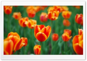 Spring Tulips HD Wide Wallpaper for 4K UHD Widescreen desktop & smartphone