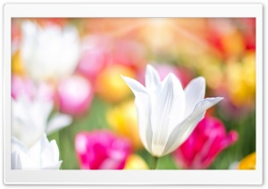 Spring Tulips HD Wide Wallpaper for Widescreen