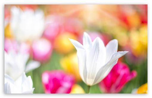 Spring Tulips ❤ 4K UHD Wallpaper for Wide 16:10 5:3 Widescreen WHXGA WQXGA WUXGA WXGA WGA ; UltraWide 21:9 24:10 ; 4K UHD 16:9 Ultra High Definition 2160p 1440p 1080p 900p 720p ; UHD 16:9 2160p 1440p 1080p 900p 720p ; Standard 4:3 5:4 3:2 Fullscreen UXGA XGA SVGA QSXGA SXGA DVGA HVGA HQVGA ( Apple PowerBook G4 iPhone 4 3G 3GS iPod Touch ) ; Smartphone 16:9 3:2 5:3 2160p 1440p 1080p 900p 720p DVGA HVGA HQVGA ( Apple PowerBook G4 iPhone 4 3G 3GS iPod Touch ) WGA ; Tablet 1:1 ; iPad 1/2/Mini ; Mobile 4:3 5:3 3:2 16:9 5:4 - UXGA XGA SVGA WGA DVGA HVGA HQVGA ( Apple PowerBook G4 iPhone 4 3G 3GS iPod Touch ) 2160p 1440p 1080p 900p 720p QSXGA SXGA ; Dual 4:3 5:4 UXGA XGA SVGA QSXGA SXGA ;